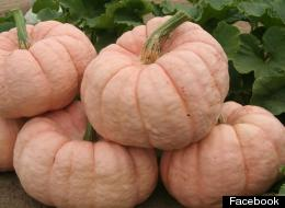 s-pink-pumpkins-large
